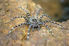Free Sri Lankan Water Spider Stock Photo - 2447920