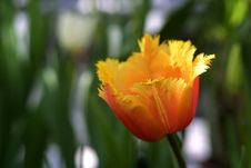 Free Beautiful Tulip Royalty Free Stock Photos - 2449248