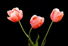 Free Beautiful Tulips Royalty Free Stock Images - 2449449