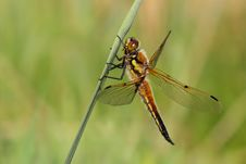 Free Hairy Dragonfly Stock Images - 2449974