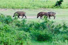 Boar In The Wild Stock Photos