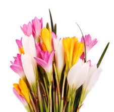 Free Bunch Of Beautiful Brightly Colored Crocus Flowers Royalty Free Stock Images - 24406799