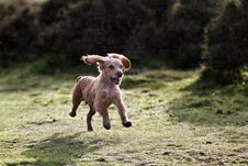 Free Cocker Spaniel Puppy Royalty Free Stock Images - 24407199