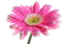 Free Fresh Pink Gerbera In With Dew Stock Images - 24408434
