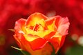 Free Glowing Orange Yellow Rose With Red Background Stock Photos - 24414113