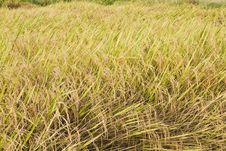 Free Rice Farm Royalty Free Stock Photo - 24413215