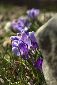 Lilac Crocuses. Royalty Free Stock Image