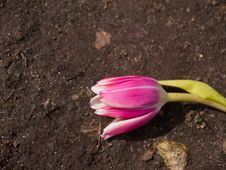 Free Tulip Royalty Free Stock Photography - 24415817