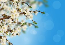 Free Apricot Blossoms Stock Images - 24417034