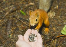 The Squirrel. Royalty Free Stock Photo