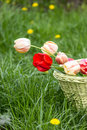 Free Bouquet Of Tulips Royalty Free Stock Images - 24423469