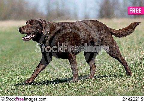 Free Chocolate Labrador Retriever In Field Royalty Free Stock Photo - 24420215