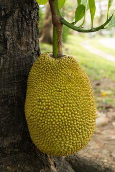 Free Jackfruit On Tree Stock Photos - 24421053
