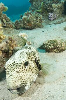 Free Puffer Fish Stock Images - 24425544