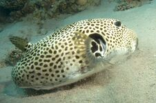 Free Puffer Fish Royalty Free Stock Image - 24425546