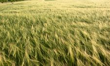 Free Field Of Wheat Stock Images - 24427444