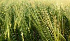 Free Field Of Wheat Stock Image - 24427461
