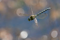 Free Flying Dragonfly Royalty Free Stock Photography - 24431047