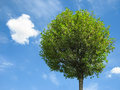 Free Fresh Tree With Blue Sky Royalty Free Stock Photography - 24435317