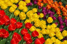 Free Pretty Tulip Rows Royalty Free Stock Image - 24433036