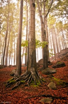 Free Beech Forests In The Fall Stock Image - 24434111
