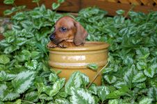 Free Dachshund Puppy In Flower Pot Royalty Free Stock Photo - 24435275