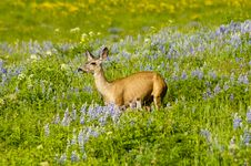 Free Mule Deer In A Field Of Flowers Stock Photos - 24435613