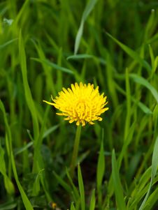 Free Dandelion In The Grass Royalty Free Stock Photos - 24437548