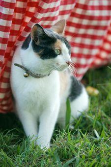 Free Tortoiseshell Cat Royalty Free Stock Images - 24440709