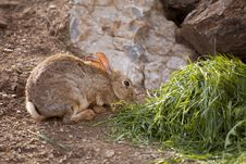 Free Wild Rabbit Royalty Free Stock Photography - 24442277