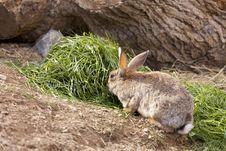 Free Wild Rabbit Stock Images - 24442354
