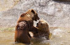 Wild Bears Royalty Free Stock Photography