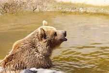 Free Grizzly Bear Stock Images - 24444004