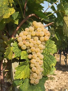 Free Grapes Hanging From A Vine Royalty Free Stock Image - 24444936