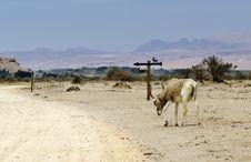 Free Animal In Hai Bar Nature Reserve, Israel Stock Photos - 24445283