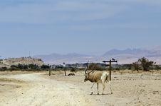 Free Addax Antelope In Nature Reserve, Israel Royalty Free Stock Photography - 24445297