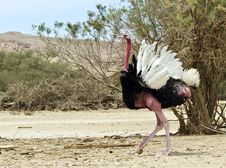 Male Of African Ostrich &x28;Struthio Camelus&x29;, Israel Stock Image