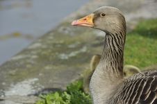 Portrait Of A Goose Stock Photography