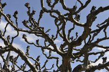 Free Knotty Old Tree Royalty Free Stock Photography - 24448507