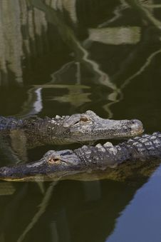 Free Two Alligators With Copy Space Above Stock Image - 24448771