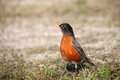 Free Small Robin Bird On The Ground Stock Images - 24458454