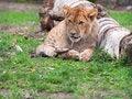 Free Lion Cub Stock Photos - 24459293