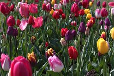 Free Spring Tulips, Flowers Background Stock Photo - 24452100
