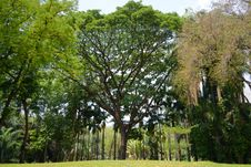 Free Old Big Tree Royalty Free Stock Photography - 24452697