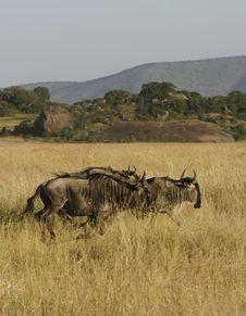 Free White-Bearded Wildebeest Stock Images - 24456804