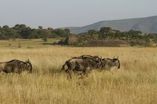 Free White-Bearded Wildebeest II Royalty Free Stock Image - 24456826