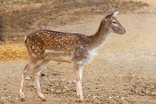 Free Fallow Deer Stock Photography - 24456902