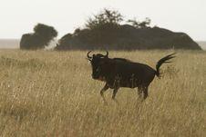 Free White-Bearded Wildebeest VI Royalty Free Stock Photos - 24457008