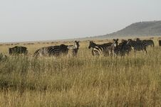 Free Herd Of Burchell S Zebra. II Stock Photo - 24457080