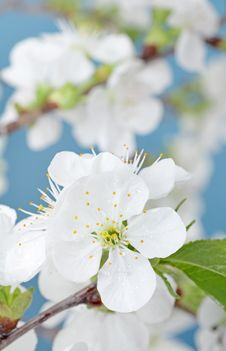 Free Cherry Bloom Stock Photography - 24457172